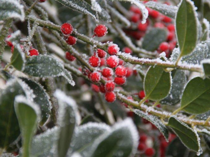 immergrüne wintergrüne Pflanzen