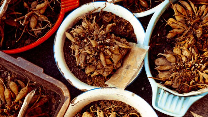 Knollen pflanzen Topf