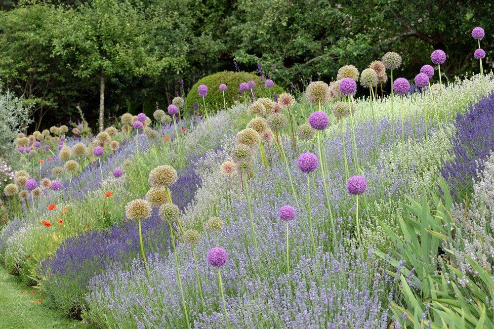 Lavendel Allium
