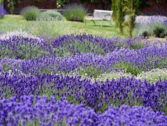 Englischer Lavendel