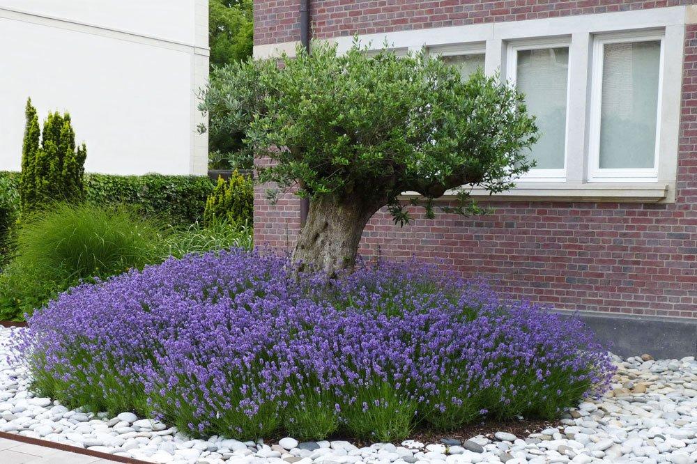 Lavendel Vorgarten