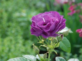 Rosen Pflege