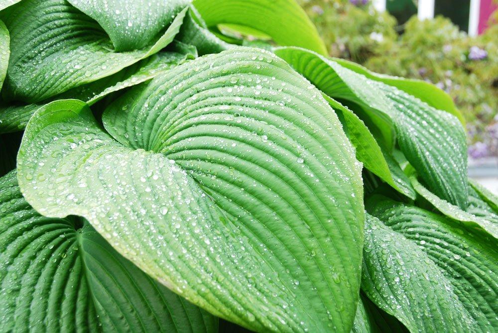 Funkien Blätter