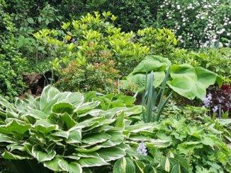 Funkien im Garten