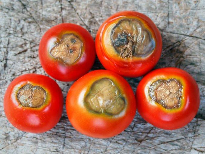 Blütenendfäule Tomaten