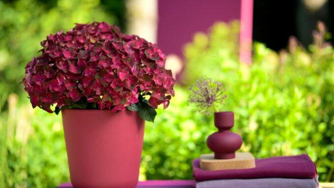 Hortensien Magical Hydrangea