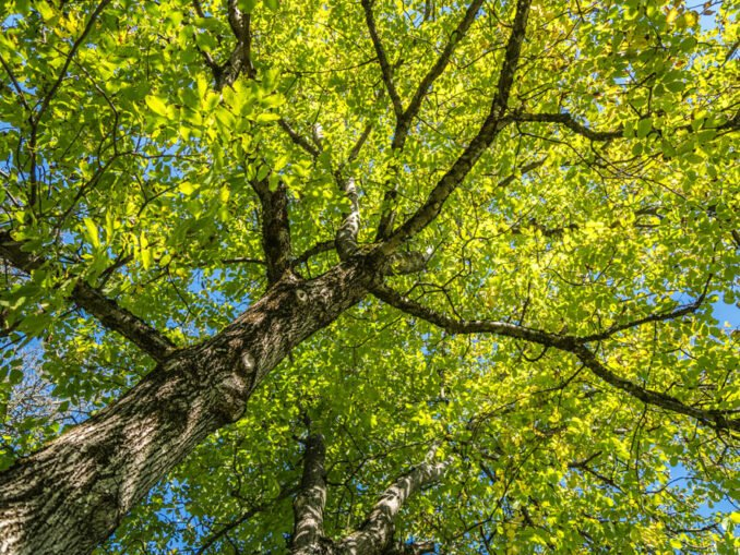 Nussbaum Garten