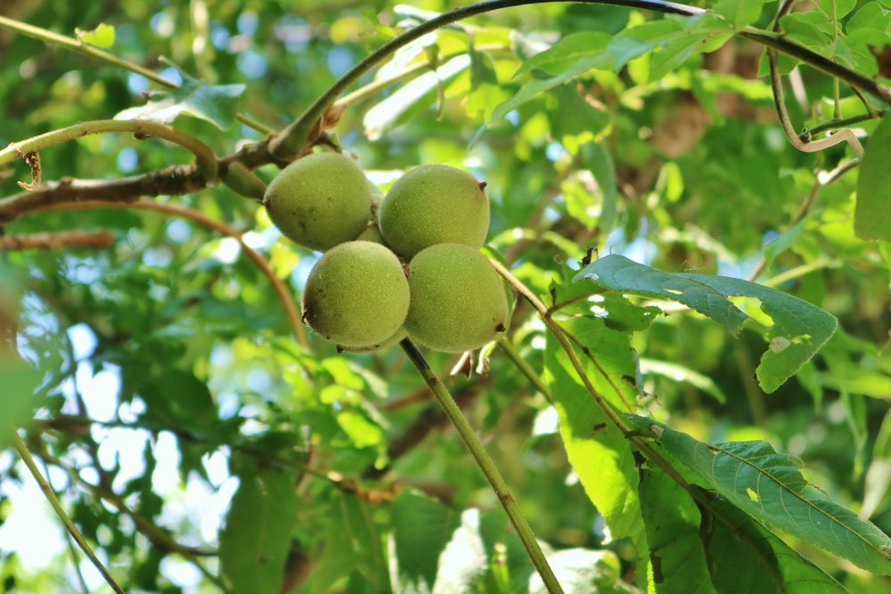 Walnussbaum Garten