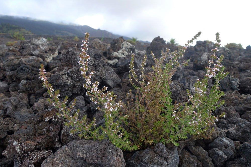 Bergminze pflanzen