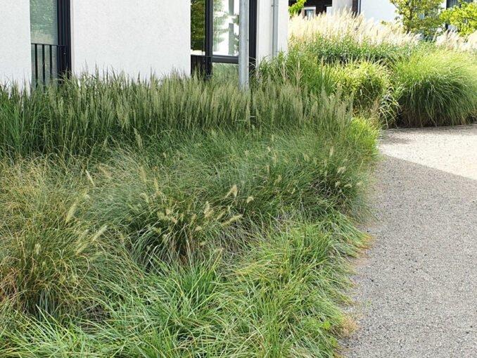 Gräser im Vorgarten