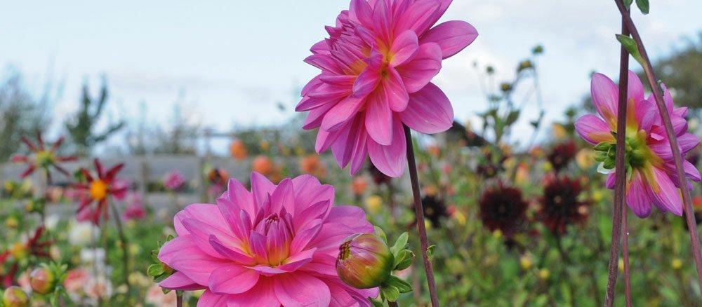 Dahlien pflanzen nach Eisheiligen