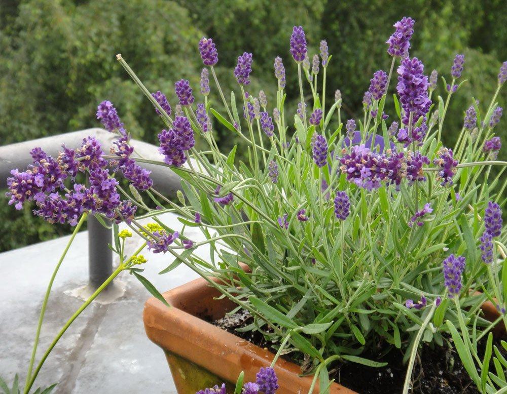 Lavendel Balkon