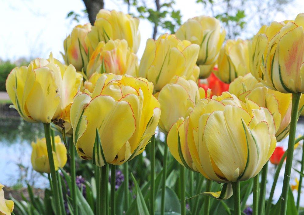 gelbe Tulpen